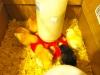 Chicks Eating