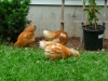 Pullets In Yard