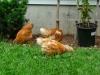 Pullets In Yard