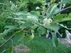 2012 - McIntosh Apples Growing