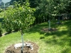 2011 - Fruit Trees