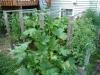 2012 - Squash, Tomatoes