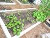 2010 - Zucchini, Squash, Cucumbers, Pole Beans, Peas